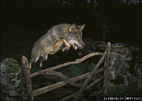 一副跳跃的狼的照片获摄影奖