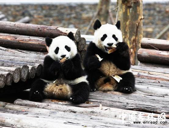 两只大熊猫安家中国吉林省