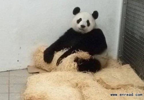 比利时天堂动物园与中国大熊猫保护和研究中心联合宣布,大熊猫好好在